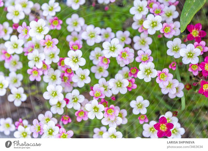 Flower banner - blooming pink saxifrage on natural background. Abstract floral backdrop with soft focus, top view, copy space. flower nature beautiful summer