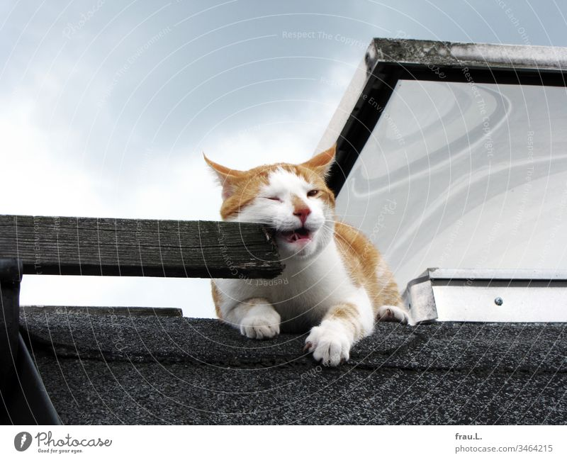 On the flat roof the red and white tomcat cuddled a little with an old wooden ladder. Now then... Roof Sun Cat Animal Pet Exterior shot Colour photo
