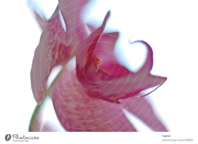 Orchid02 Blur Pink snapdragon Bright Macro (Extreme close-up)