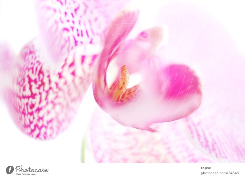 Bright Pink Orchid
