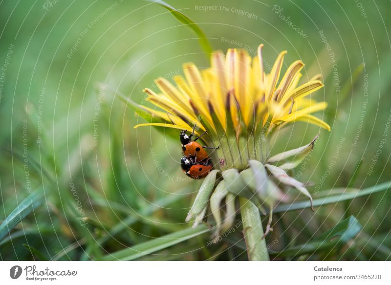 Vital | Sex flora fauna Plant Animal Insect Beetle Ladybird Weed lowen tooth bleed petals Crawl Mating Summer Meadow green Yellow Orange luck