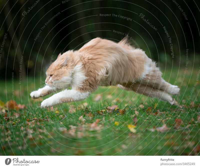 Maine Coon cat runs across the meadow fast as the wind Cat jumps fluffy Fluffy Wind Meadow Nature out Garden Autumn foliage focused swift