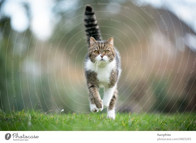 British shorthair cat runs on a meadow towards the camera Cat pets purebred cat One animal British Shorthair White tabby Outdoors Nature Botany Garden