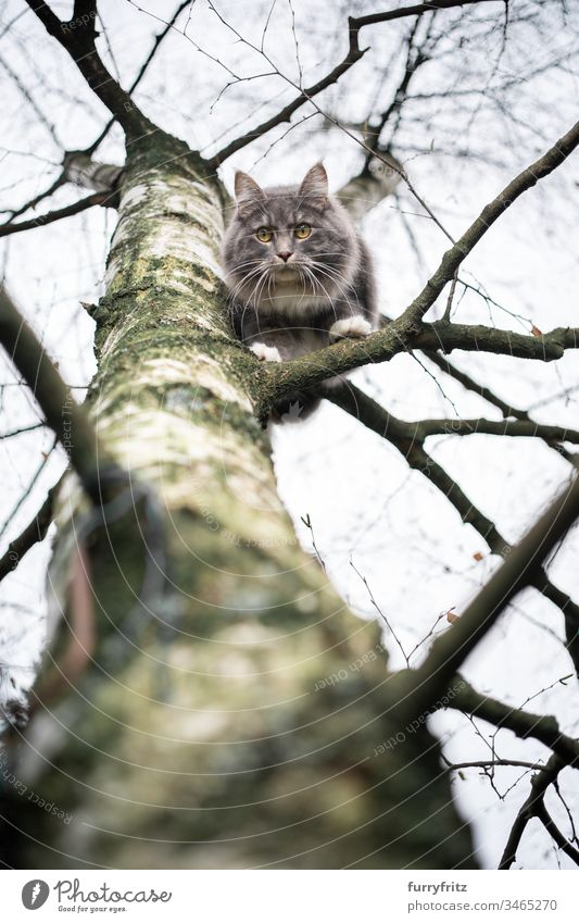 Maine Coon cat sitting on the branch of a birch tree and looks down Cat Outdoors Front or backyard Garden Nature One animal purebred cat pets feline Pelt Fluffy