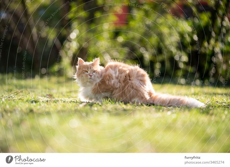 Fluffy Maine Coon cat sitting in the garden on a windy day Cat pets feline Pelt Longhaired cat Fawn Beige Cream Tabby Ginger cat White One animal Outdoors