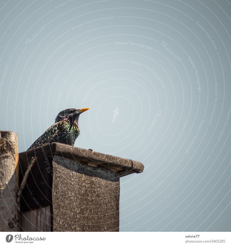 my home Nature Spring fever Deserted Colour photo Exterior shot Environment Sky Bird Starling Ornithology Sing performing courtship display Grand piano