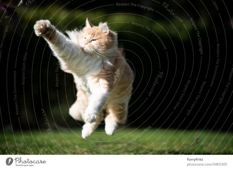 Playful Maine Coon cat jumps and plays in the garden Cat pets feline Pelt Fluffy Longhaired cat Fawn Beige Cream Tabby Ginger cat White One animal Outdoors