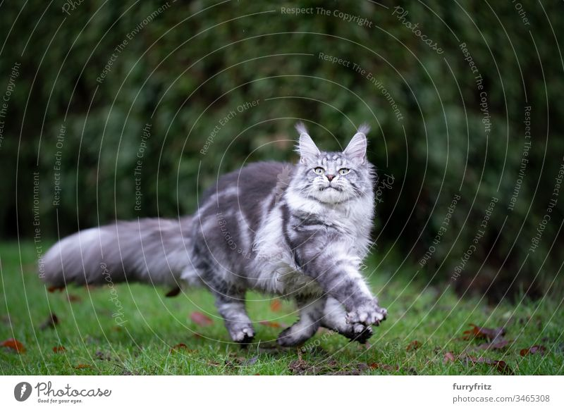 Playful silver tabby Maine Coon cat runs across the meadow Cat Outdoors Front or backyard Garden Nature Lawn Meadow Grass One animal purebred cat pets feline