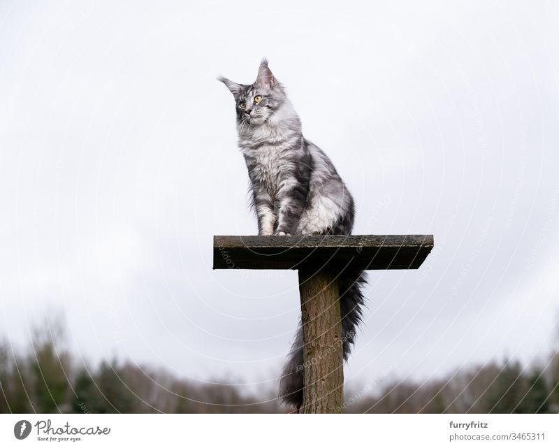 silver tabby Maine coon cat sitting on top platform of a scratching post in the garden Cat Outdoors Front or backyard Garden Nature One animal purebred cat pets