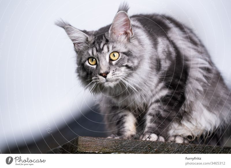 silver tabby Maine Coon cat sitting on wooden platform and watching the garden Cat Outdoors Front or backyard Garden One animal purebred cat pets feline Pelt
