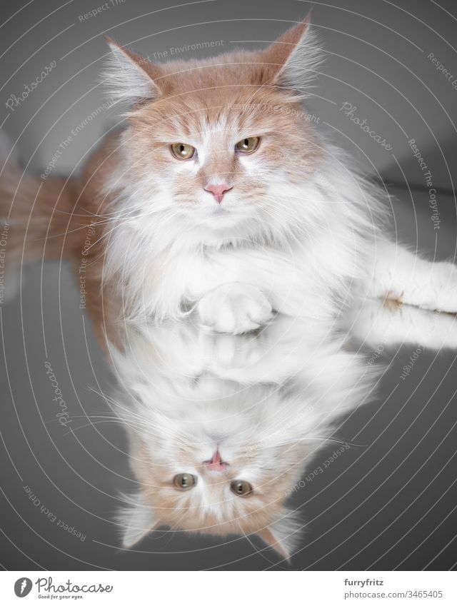 Maine Coon cat lying on a mirror Cat purebred cat pets White Longhaired cat One animal Studio shot Mirror Reflection Cream Tabby Fawn Beige Fluffy Pelt feline
