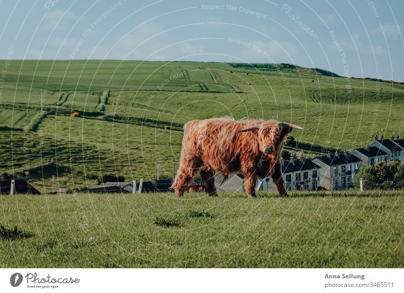 Highland cattle on a meadow outside the city Spring Meadow Cattle highland cattle highlands Scotland Red Orange Animal breeding animal Cow Exterior shot