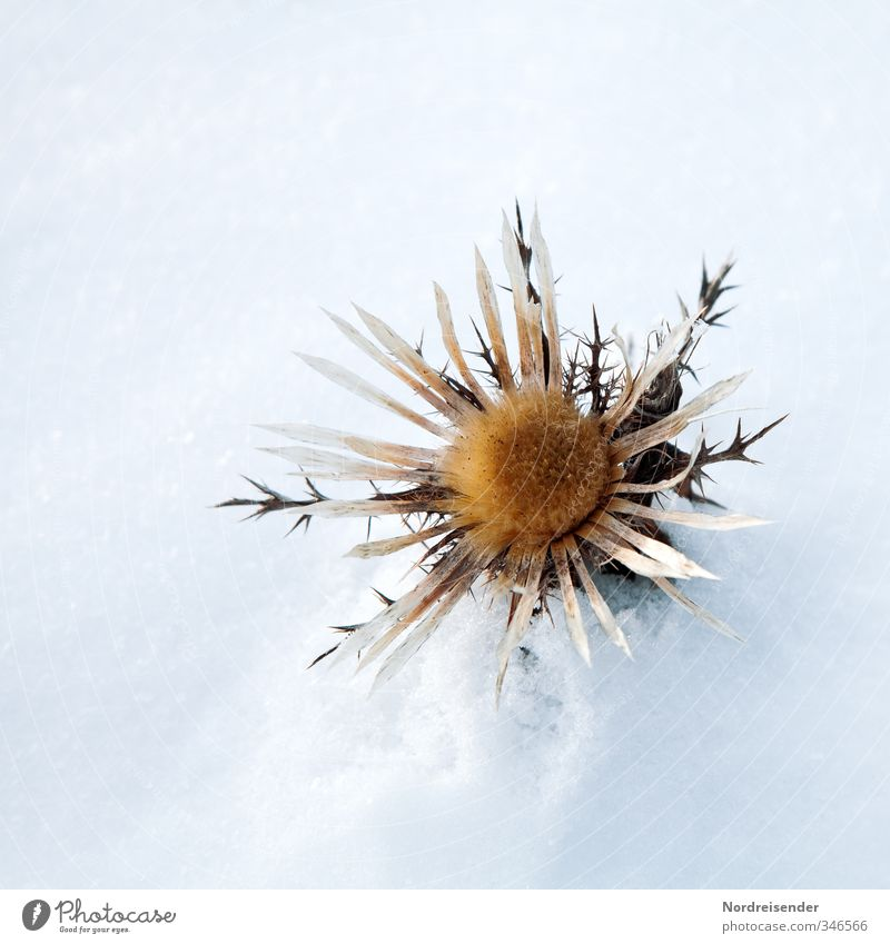 Free in the snow Nature Plant Winter Climate Ice Frost Snow Wild plant Blossoming Glittering Faded Esthetic Exceptional Friendliness Brown White Calm Bizarre