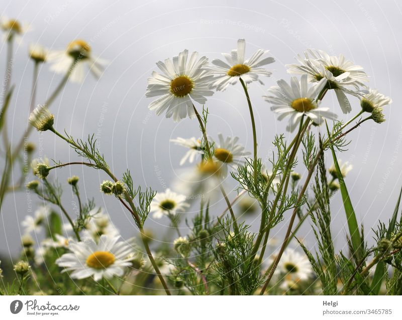 flowering camomile plants on a field in front of a grey sky Camomile plant Chamomile Camomile blossom Flower Blossom Plant Nature Landscape Summer Day