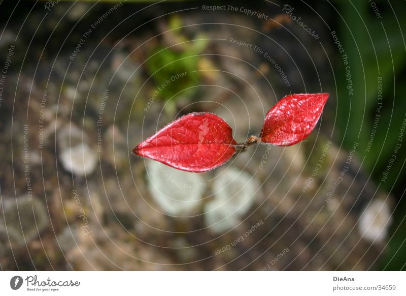 Nature Plant Red Leaf Loneliness Autumn Gray Stone To fall Desire Strong November Survive Bond Fighter