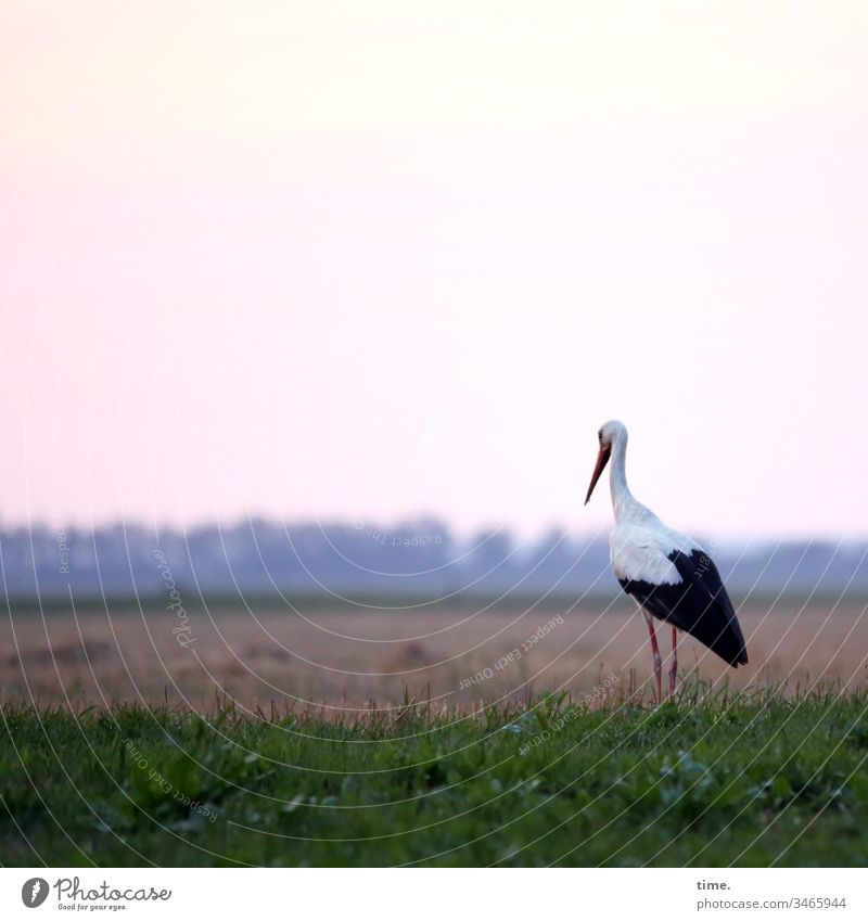 food watch Meadow animals Life Sky look employed Stork Wait Observe Focus on patience Horizon Evening evening mood Dinner appetite Bird Stand Feed Foraging