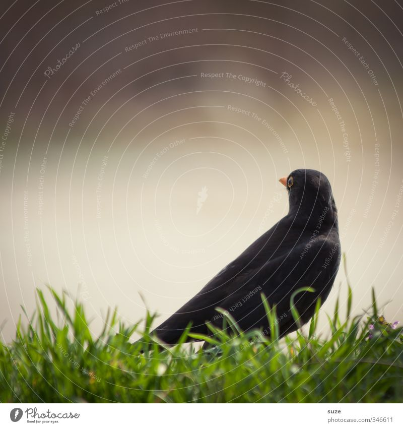 blackbird sight Environment Nature Animal Beautiful weather Grass Meadow Wild animal Bird 1 Sit Authentic Small Funny Natural Black Blackbird Song Songbirds