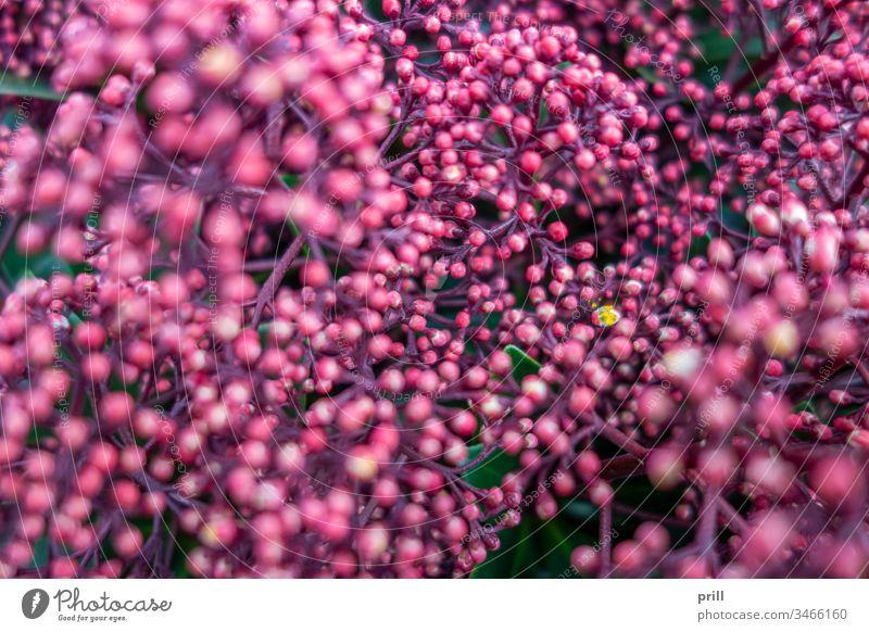 pink flower buds closeup knospe blume blüte blühen blütenblatt hell frühlingszeit hintergrund ausschnitt nahaufnahme formatfüllend natur natürlich pflanze