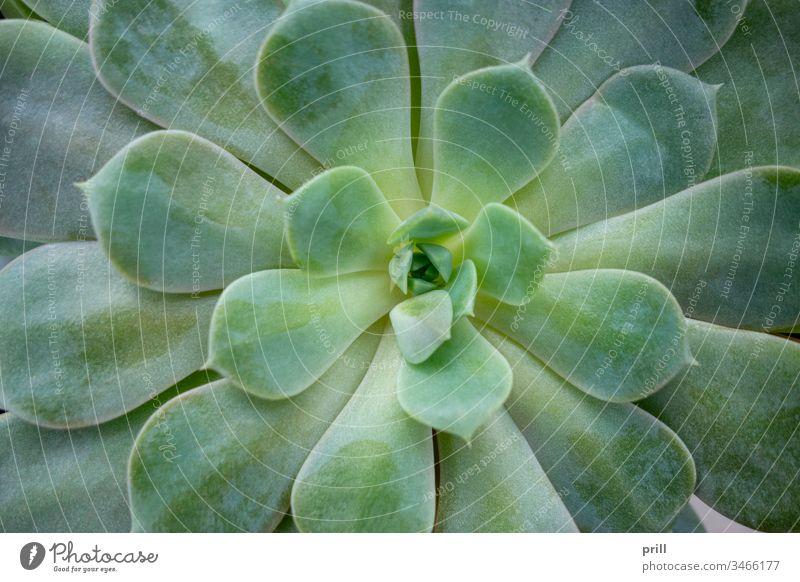 echeveria plant closeup echeverie crassulaceae sukkulent pflanze ausschnitt nahaufnahme fleischig blatt natur natürlich botanik oben verziert blume saftig