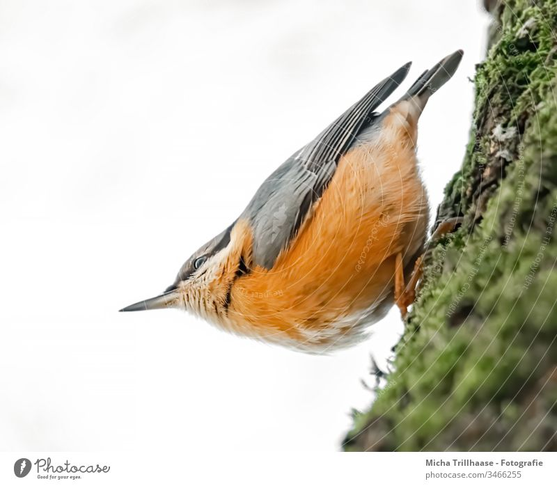 Nuthatch upside down on tree trunk Eurasian nuthatch Sitta Europaea Bird Animal Wild animal Head Animal face Grand piano Beak Eyes Claw Feather Plumed Hang