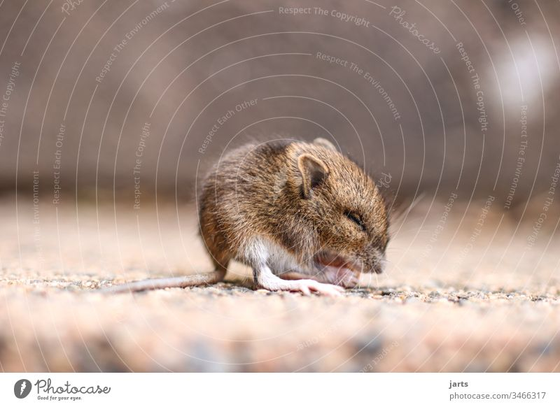 little mouse Mouse Small Field mouse Cute Baby Rodent Animal Mammal Tails Pelt Brown Fear Sweet Diminutive Eating Disgust