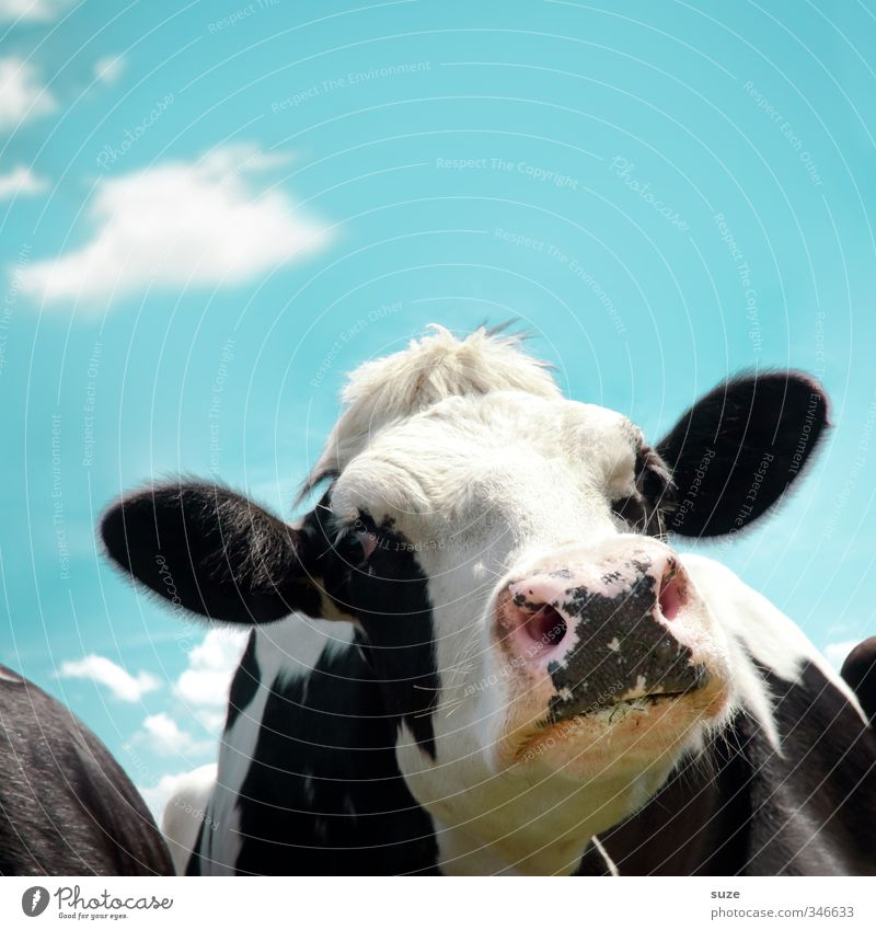 Luise in the trial course Organic produce Environment Nature Sky Clouds Animal Farm animal Cow Animal face Funny Natural Curiosity Cute Blue Black White