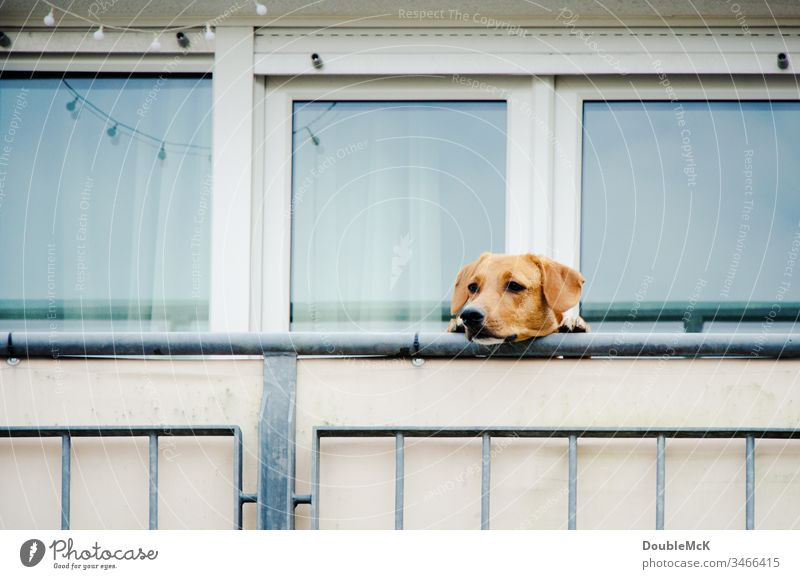 Dog is not allowed to go outside and look over the balcony parapet Balcony Pet Colour photo Exterior shot Animal Day Animal face Cute Deserted Curiosity Observe