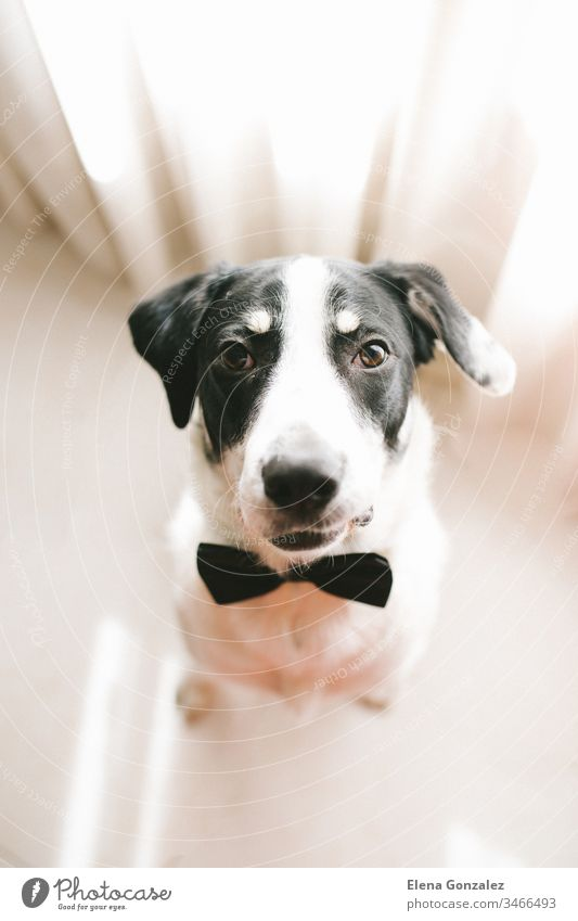 Top view of Labrador dog in a black bow tie looking at his owner. Best friend concept. puppy labrador doggy neck dating pets mammal elegant pedigree obedient