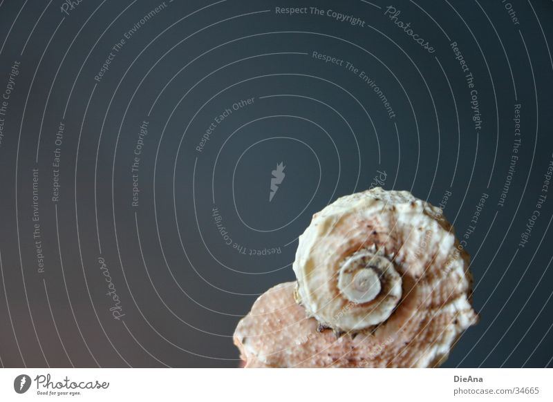 uninhabited Mussel White Beige Rough Surface Spiral Corner Decoration Style Background picture Gray Fossil Ocean Things Structures and shapes snail shape Blue