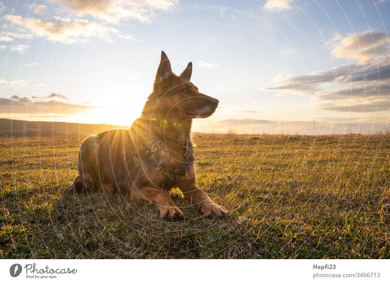 German shepherd dog sitting on the meadow German Shepherd Dog Shepherd dog Sit Observe Pelt Brown black Snout ears Meadow Nature Landscape Place Sky Clouds