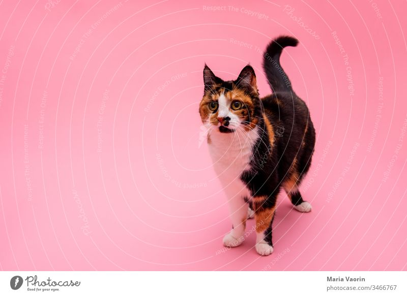 Lucy Cat colored background Animal Pet Animal portrait Colour photo Deserted Neutral Background Animal face Interior shot Cute Pelt Stand Pink Speckled