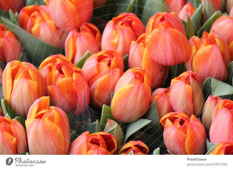 tulips Tulip blossom Flower Blossom Nature flora Close-up Orange Spring Beautiful