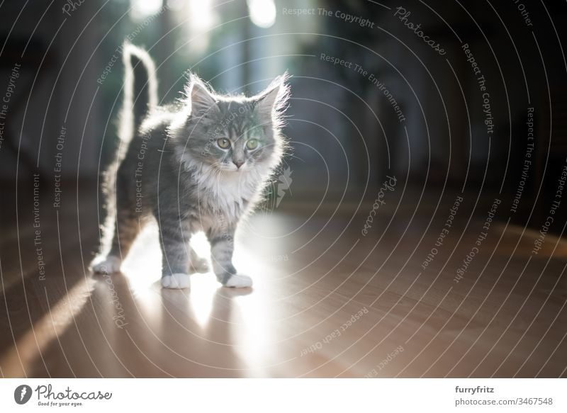 Young Maine Coon kitten against the light Kitten Sunlight Shadow indoors 2-5 months Enchanting Beautiful blue blotched bokeh Cute Domestic cat Fluffy Pelt