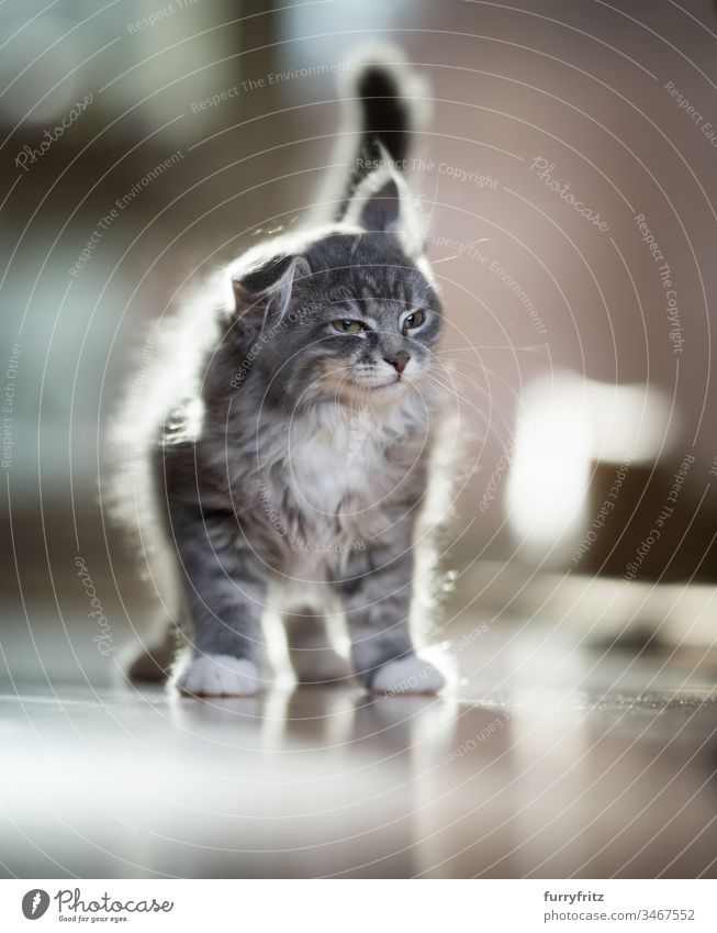 Maine Coon kitten shakes Funny Kitten Shake Looking 2-5 months Enchanting Background lighting Beautiful blue blotched bokeh Cute Domestic cat Fluffy Pelt