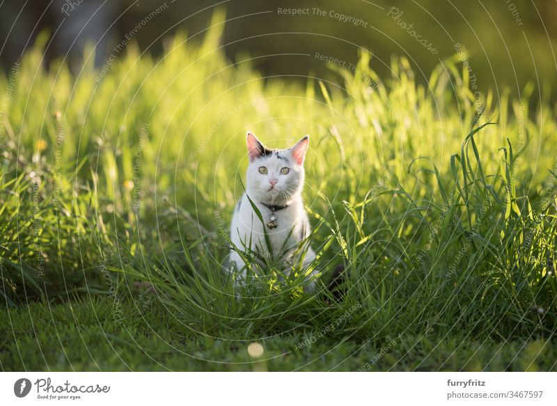 black white cat sitting in high grass in the evening sun no people Adventure Curiosity Watchfulness Investigation hiding Hunting on the move monitoring