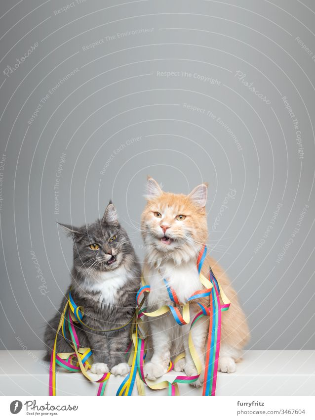 two funny Maine Coon cats with streamers in party mood Cat Cute Enchanting Beautiful feline Fluffy Pelt purebred cat pets Longhaired cat White blue blotched