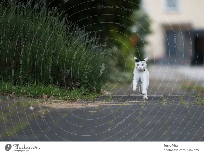 Black and white cat running on the pavement Cat Sidewalk Running look into the camera Collar bell black on white animal eye animal hair Bell bokeh Botany