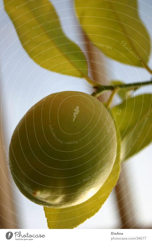 Green Blue Plant Leaf Yellow Fruit Lemon Citrus fruits