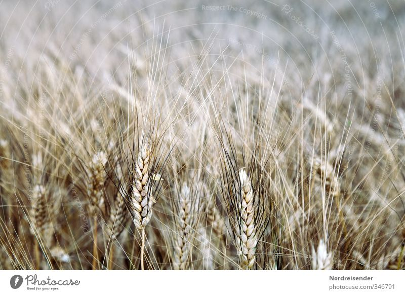 barley Food Grain Nutrition Organic produce Vegetarian diet Profession Agriculture Forestry Summer Plant Agricultural crop Field Brown Fragrance Barley