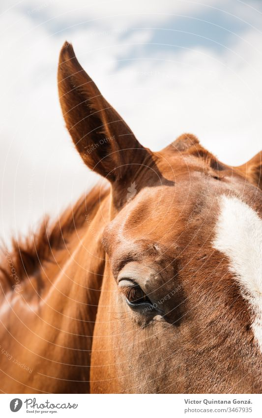 Brown horse closeup Horse agrarian agricultural animal backwoods bucolic cavalry colt countryside desert ears europe fair weather farmland fast freedom idyllic