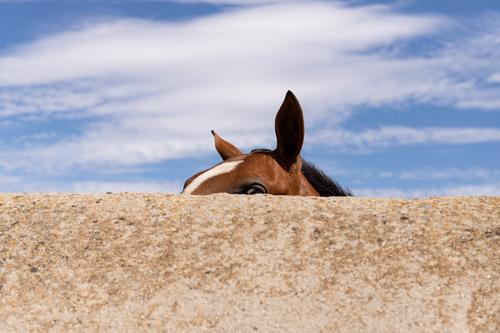 Horse ears behind wall agrarian agricultural animal backwoods bucolic cavalry colt countryside desert europe fair weather farmland fast freedom idyllic mare