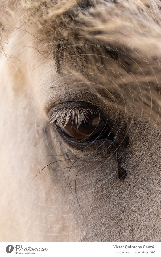 White horse eye closeup Horse agrarian agricultural animal backwoods bucolic cavalry colt countryside desert ears europe fair weather farmland fast freedom