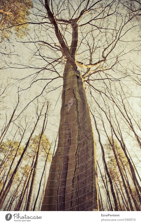 """""""   """" Environment Nature Landscape Plant Air Sky Spring Autumn Tree Wood Gigantic Brown Yellow Green Tree bark Tree trunk Branchage Many Multiple Stick out"""