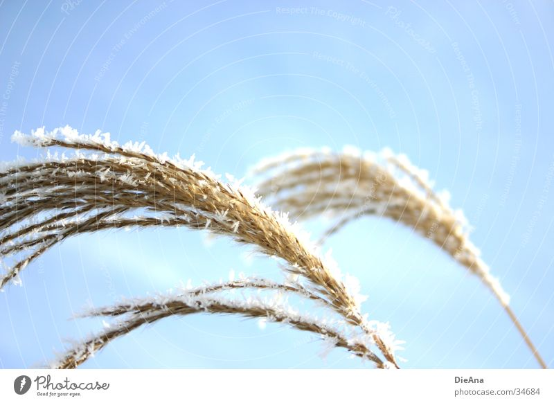 Sciluf (2) Grass Plant Curved Blow Aquatic plant Common Reed Soft Winter December Lighting White Nature shore plant reed grass Bright Sun Beautiful weather Ice