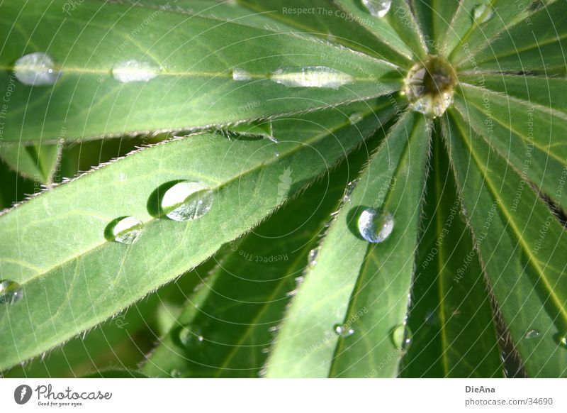 lupine Water Drops of water Beautiful weather Rain Leaf Green Lupin Watertight dripping off Colour photo Exterior shot Deserted Day Reflection Blur