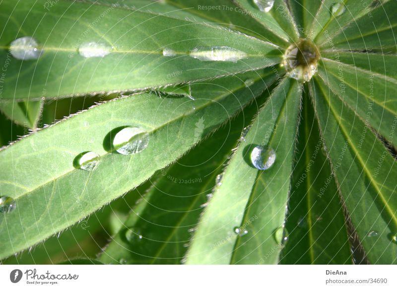 Water Green Leaf Rain Beautiful weather Drops of water Watertight Lupin