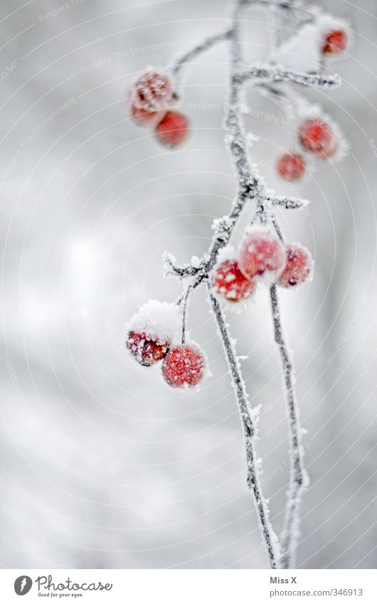 hoarfrost Fruit Winter Ice Frost Snow Cold Frozen Hoar frost Winter mood Rose hip Branch Red Colour photo Exterior shot Close-up Detail Deserted Copy Space left