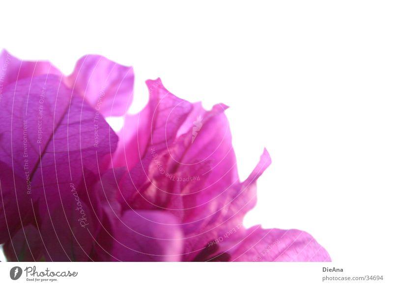 Flower Blossom Pink Violet Twig Blossom leave Houseplant