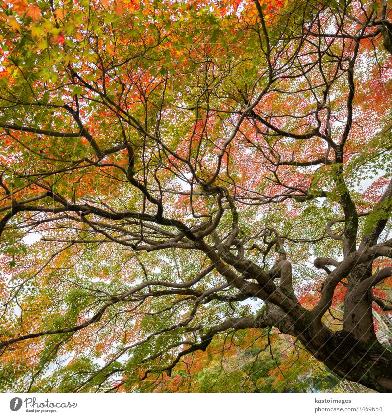 Colorful autumn tree. fall foliage background nature season japan mapletree beautiful landscape kyoto treetop japanese red colorful scene park forest zen garden