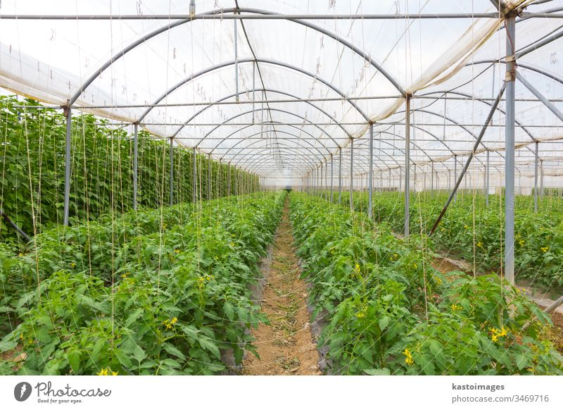 Bio tomatoes growing in the greenhouse. agriculture field plant farm growth food vegetable leaf crop garden healthy nature organic gardening industry farming
